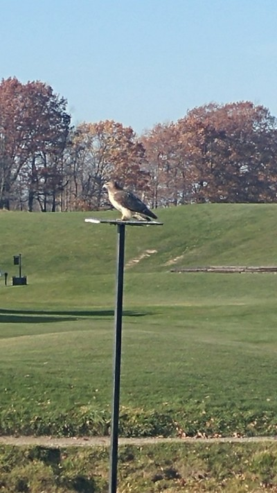 Local Hawk at Oak Gables